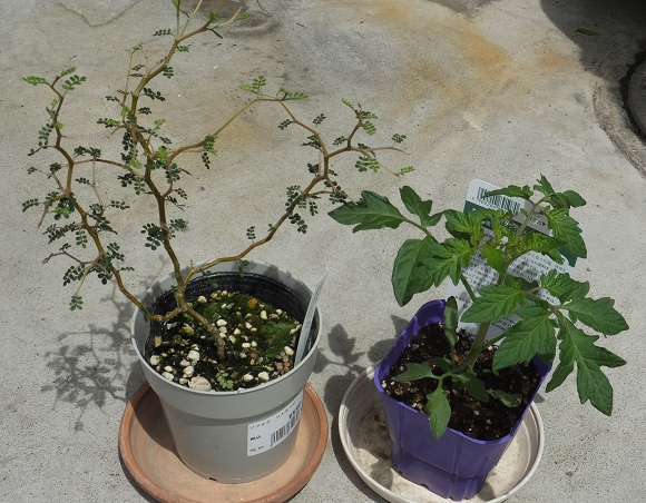 ソフォラとトマトの苗